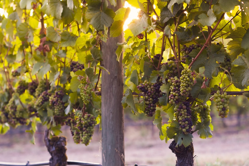 The 3 Main Champagne Grapes That Reign Supreme grapes for champagne