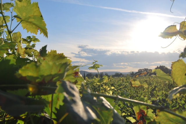 Grand cru wine - Cru and Grand Cru explained Burgundy