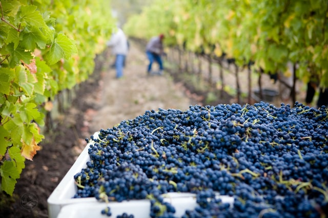 Sparkling Wine vs Champagne - What's the Difference? vineyard